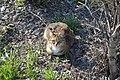 Siberian Cat.jpg
