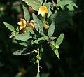 Sida rhombifolia 2.jpg