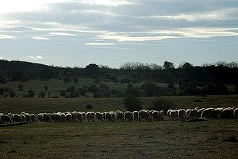 Sierra de Caldereros Rebaño de ovejas 01.jpg