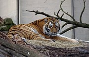 Siberian, otherwise known as Amur, Altaic, Korean, North Chinese or Ussuri tiger