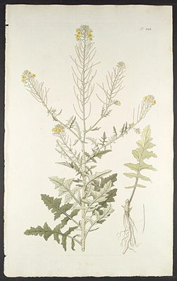 Loesels Rauke (Sisymbrium loeselii), Illustration.