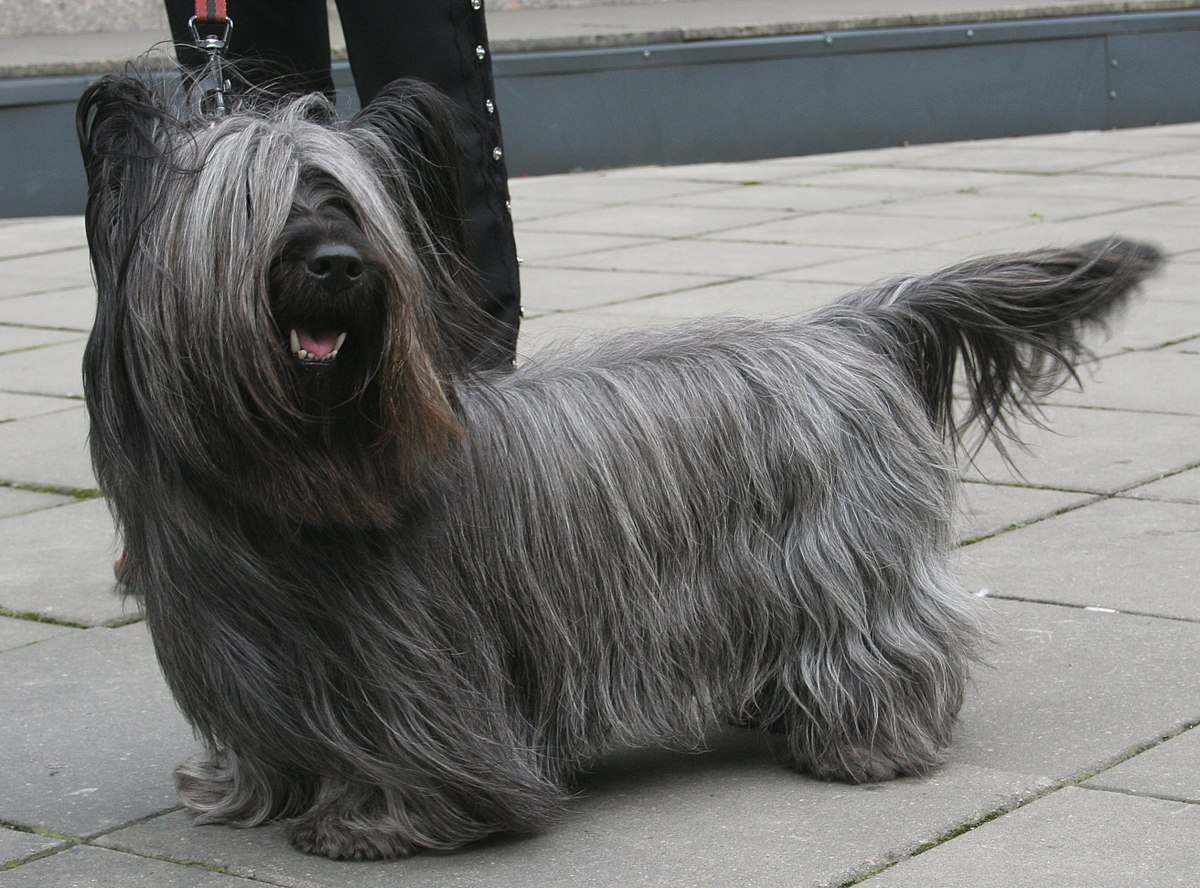 Skye Terrier - Wikipedia