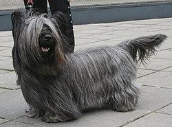 Skye Terrier) - порода охотничьих собак. терьер.