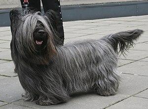 Skye Terrier - A Skye Terrier