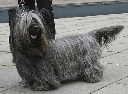Skye terrier 800