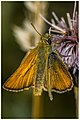 Small Skipper - HWW! (40534833741).jpg