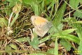 Small heath (NH Hrobka) (24481113320).jpg