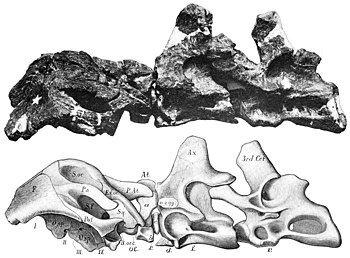 Smitanosaurus agilis skull and neck.jpg