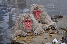 Japanese Macaques bathing in hot springs near Nagano, Japan.