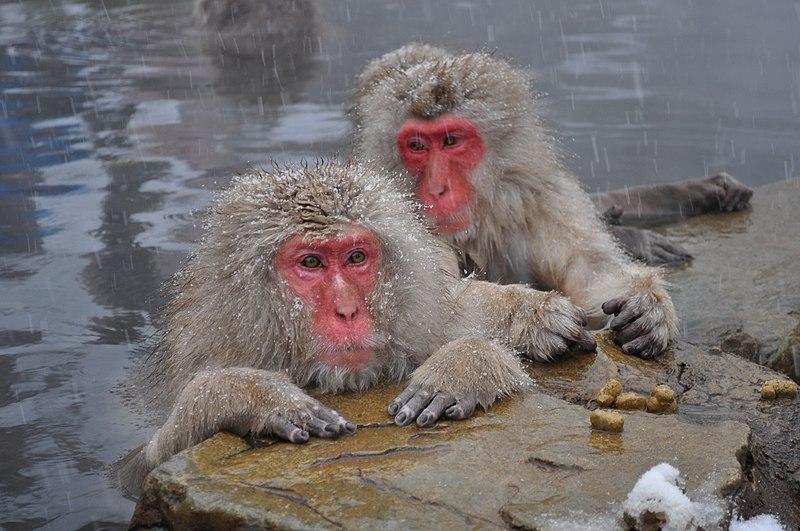 File:Snow Monkeys, Nagano, Japan.JPG