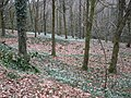 Snowdrop wood, near Otterford - geograph.org.uk - 1183037.jpg