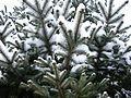 Snowy-spring-blue-spruce1 - West Virginia - ForestWander.jpg