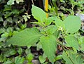Solanum nigrum 25.JPG