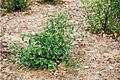 Solanum umalilaense PhytoKeys-016-065-g003C.jpg
