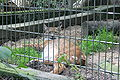 Solingen - Fauna - Lynx lynx 01 ies.jpg