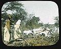 Somali shepherd.jpg