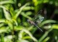 Somatochlora flavomaculata M flight.jpg