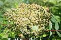 Sorbus Wilsoniana - R3082.JPG