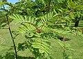 Sorbus matsumurana kz01.jpg