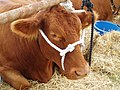 South Devon Heifer.jpg
