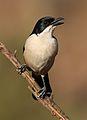 Southern Boubou, Laniarius ferrugineus, at Walter Sisulu National Botanical Garden, Gauteng, South Africa (29406214442).jpg