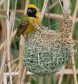 Southern Masked Weaver (Ploceus velatus) male on nest ... (45315558675).jpg