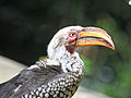 Southern Yellow-billed Hornbill RWD.jpg