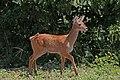 Southern puku (Kobus vardonii vardonii) fawn.jpg
