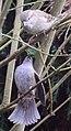 Sparrow 4 (3338250986).jpg