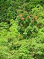 Spathodea campanulata - Adjuntas Puerto Rico.jpg