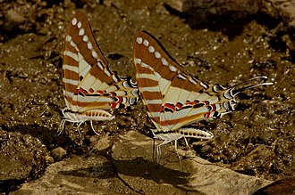 Nectarivore - Two Spot swordtail butterflies (Graphium nomius) mud puddling for minerals