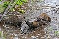 Spotted Hyaenas (Crocuta crocuta) playing in the water ... (32427218403).jpg