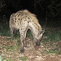 Spotted hyena visits the campsite at night (36129353194).jpg
