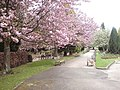 Spring blossom in the grounds of Rawdon Crematorium - geograph.org.uk - 408633.jpg