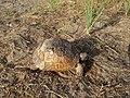 Spur-thighed tortoise in Mardakan, Azerbaijan 8.jpg