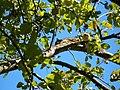 Squirrel-in-an-Apple-Tree-2315.jpg