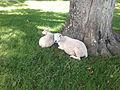 Stable Lake sheep in the shade (original).jpg