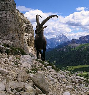 Lombardy - The Alpine ibex (Capra ibex)
