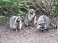 Stanley Park - Raccoon (4469273656).jpg