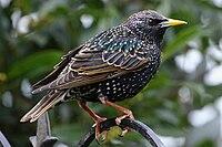 Starling (5503763150).jpg