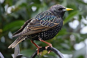 Starling - Common starling (Sturnus vulgaris) has iridescent plumage