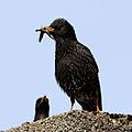 Starling (Sturnus vulgaris) (12).JPG