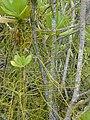 Starr-010520-0079-Cassytha filiformis-twining in naupaka-Inland-Kure Atoll (24532767645).jpg
