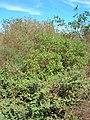 Starr-051104-5151-Myoporum sandwicense-habit-Kanaha Beach-Maui (24222312393).jpg