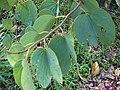 Starr-061109-1480-Bauhinia x blakeana-leaves-Kokomo Rd Haiku-Maui (24573300450).jpg
