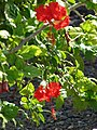 Starr-080531-4845-Hibiscus rosa sinensis-Psyche flowers and leaves-Halsey Dr residences Sand Island-Midway Atoll (24884553606).jpg