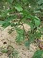 Starr-080608-7476-Tamarindus indica-seedling-Citrus grove Sand Island-Midway Atoll (24289446743).jpg