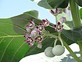 Starr-090721-3266-Calotropis procera-flowers-Wailuku-Maui (24852499032).jpg