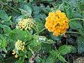 Starr-090730-3440-Lantana montevidensis-flowers and leaves-Honolulu Airport-Oahu (24944441486).jpg