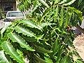 Starr-090806-3944-Azadirachta indica-leaves-UH CTAHR Maui Community College Kahului-Maui (24676136810).jpg